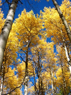 Aspen trees changing in Colorado