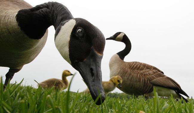 Canada Goose Innehåll