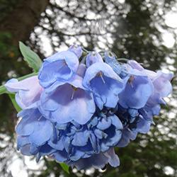 Bluebells Mertensia sp._Wildflower Vail Colorado Walking Mountains Science Center