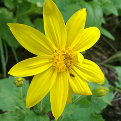 Heart-Leaved Arnica- Arnica cordifolia_Wildflower Vail Colorado Walking Mountains Science Center