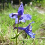 Larkspur- Delphinium sp._Wildflower Vail Colorado Walking Mountains Science Center