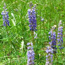 Lupine- Lupinus sp._Wildflower Vail Colorado Walking Mountains Science Center