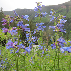 Penstemon- Penstemon sp._Wildflower Vail Colorado Walking Mountains Science Center