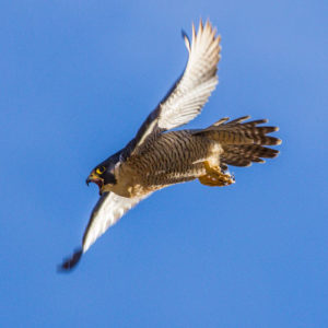 Peregrine Falcons The Bird Of Many Contradictions